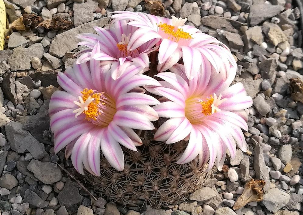 Mammillaria, Turbinicarpus, Stenocactus: in marzo fioriscono le cactacee più precoci