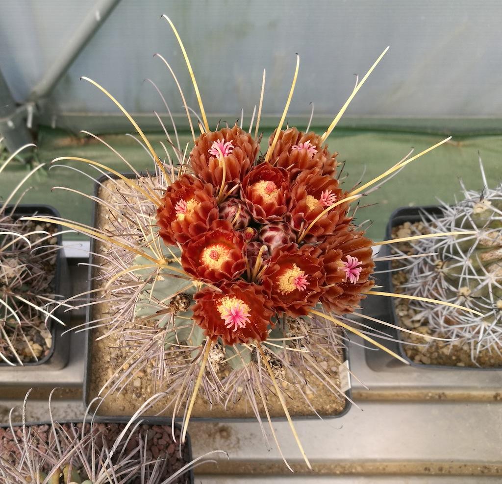 Ancistrocactus uncinatus