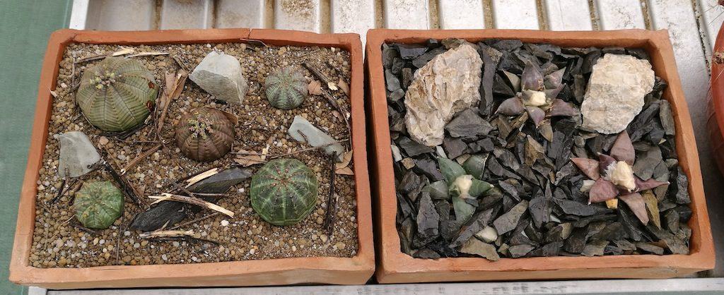 Ariocarpus ed Euphorbia composizioni