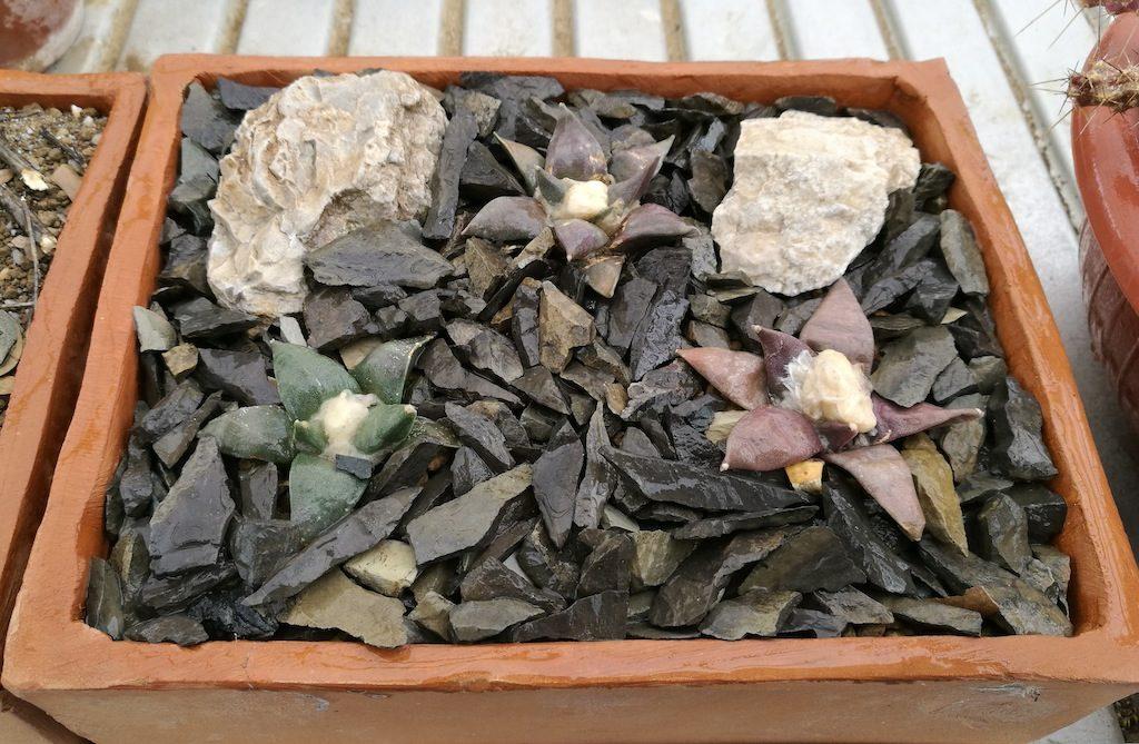Ariocarpus retusus: ambientazione con sassi