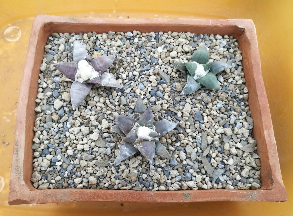 Ariocarpus retusus rinvasati