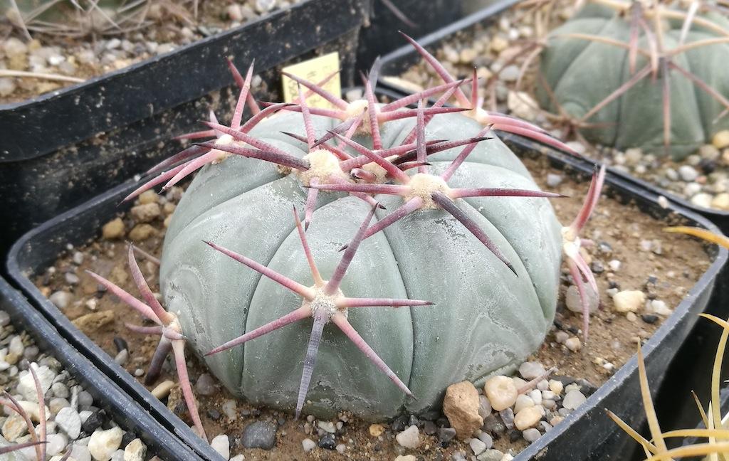 Compatto e grintoso: l'horizonthalonius è il primo a fiorire tra gli Echinocactus