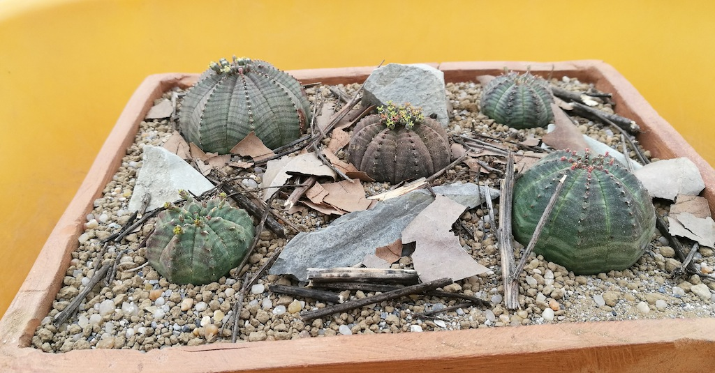 Euphorbia obesa ambientazione