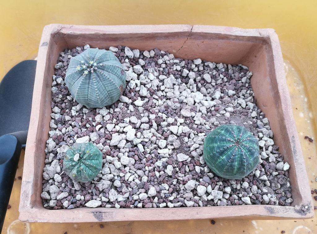 Euphorbia obesa durante il rinvaso