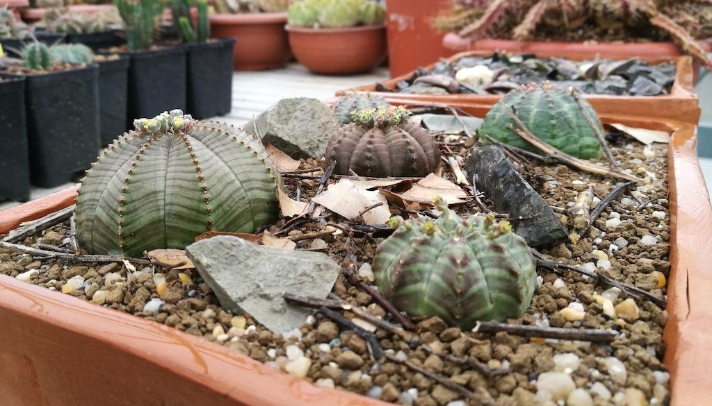 Rinvaso di Euphorbia e Ariocarpus con un tentativo di riproduzione del loro habitat