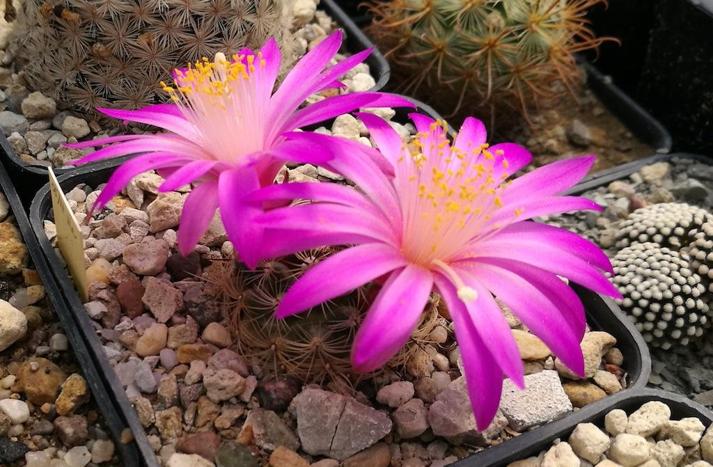 Aprile, le fioriture dei cactus entrano nel vivo: una gallery con tutte le specie più… generose
