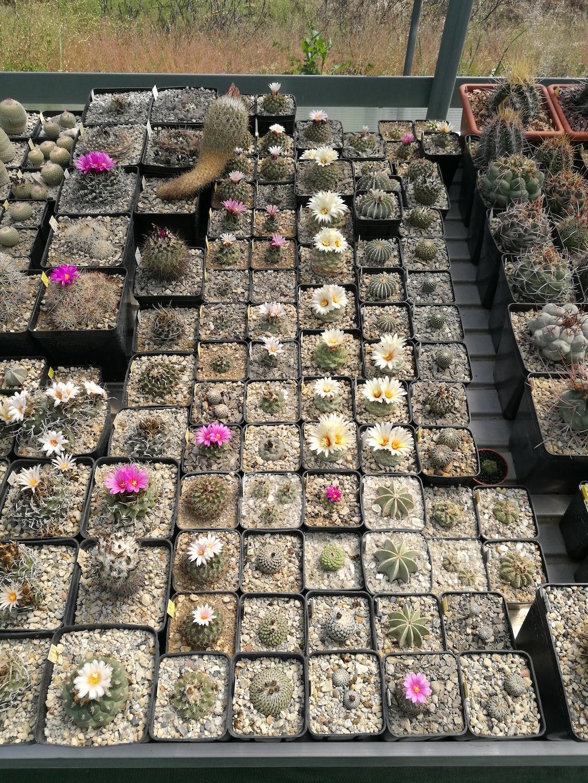 Strombocactus in fiore