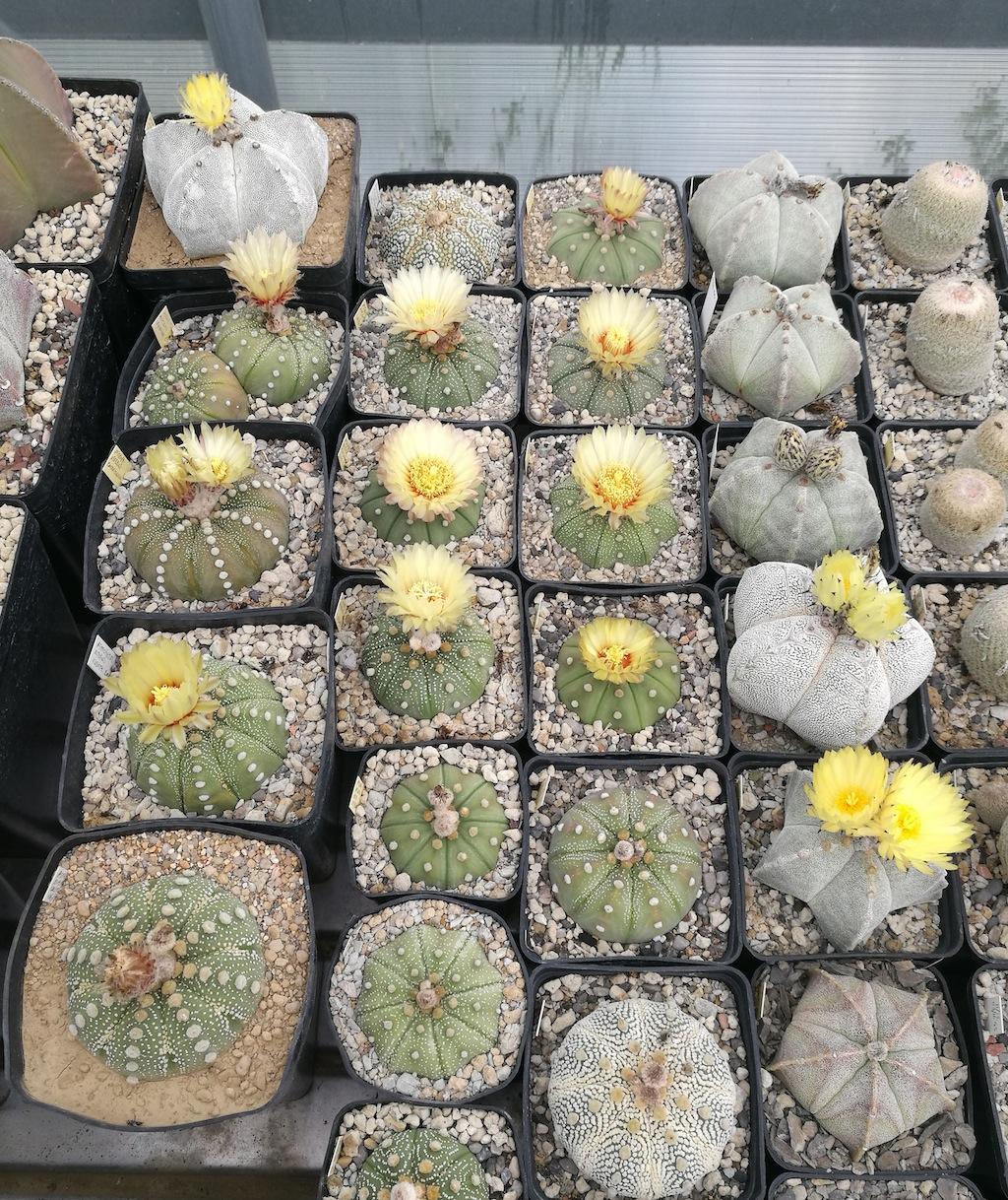 Astrophytum vari in fiore
