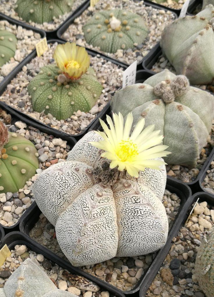 Astrophytum myriostigma cv onzuka