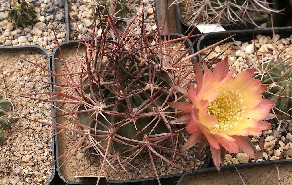 Facile da coltivare e generosa con le fioriture: Lobivia ferox, pianta ideale per chi ama le spine