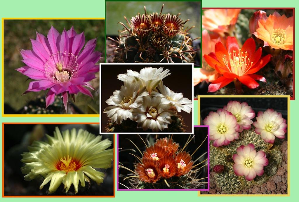 Cactacee in fiore
