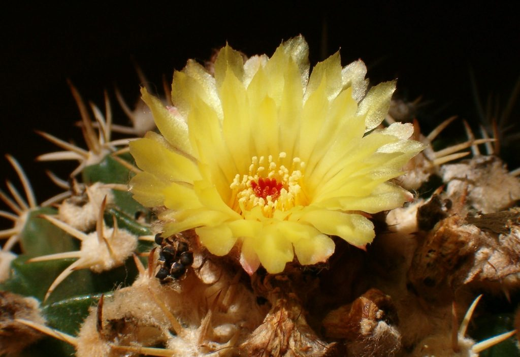 Parodia (Notocactus)