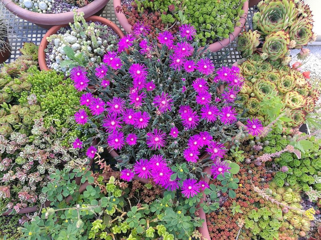 Succulente varie