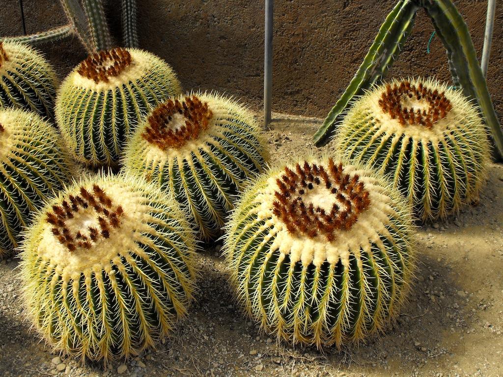 """Un classico senza tempo: Echinocactus grusonii, conosciuto anche come """"cuscino della suocera"""""""