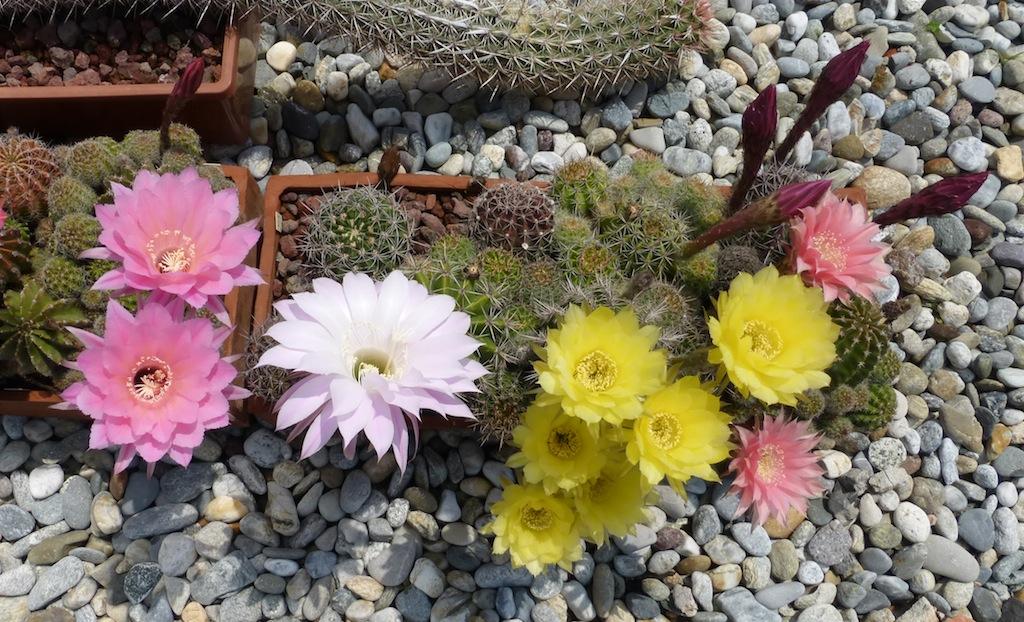 Echinopsis vari