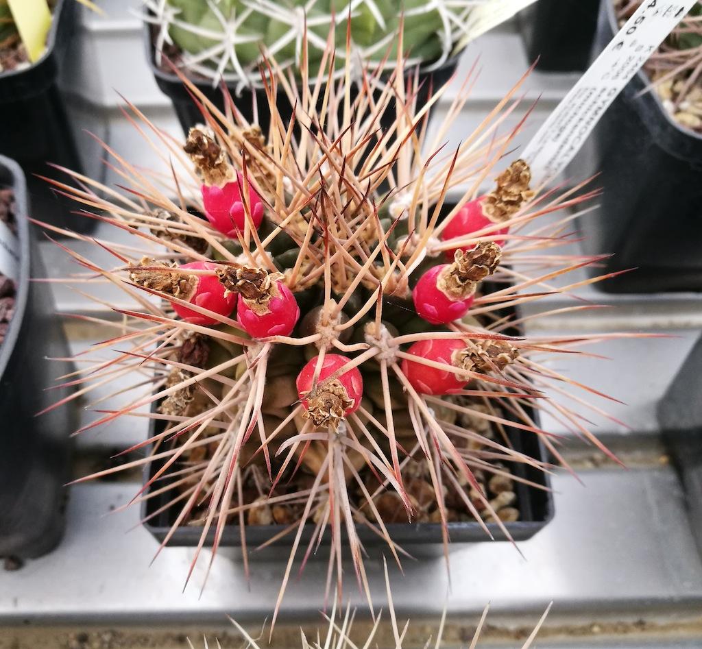 Gymnocalycium schickendantzii con frutti