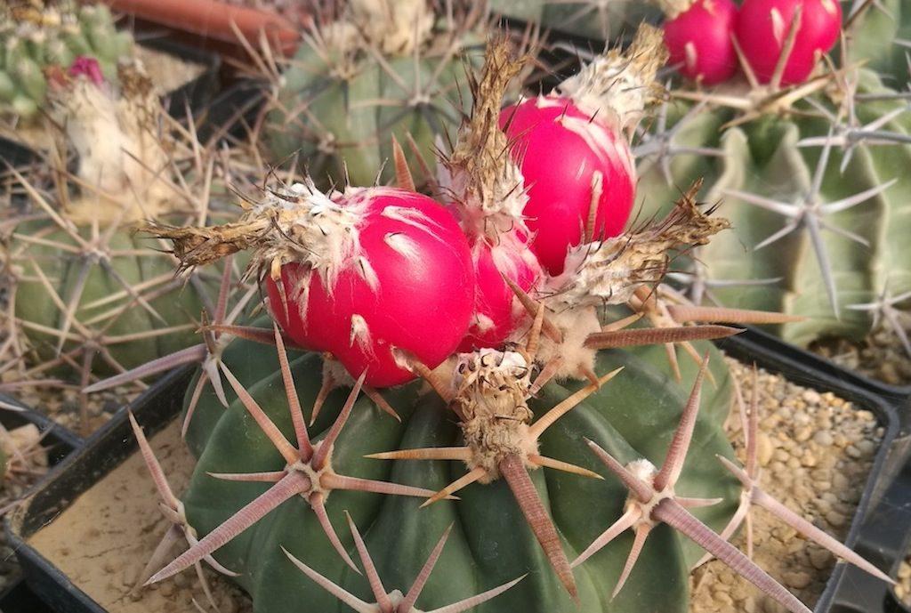 Echinocactus texensis con frutti
