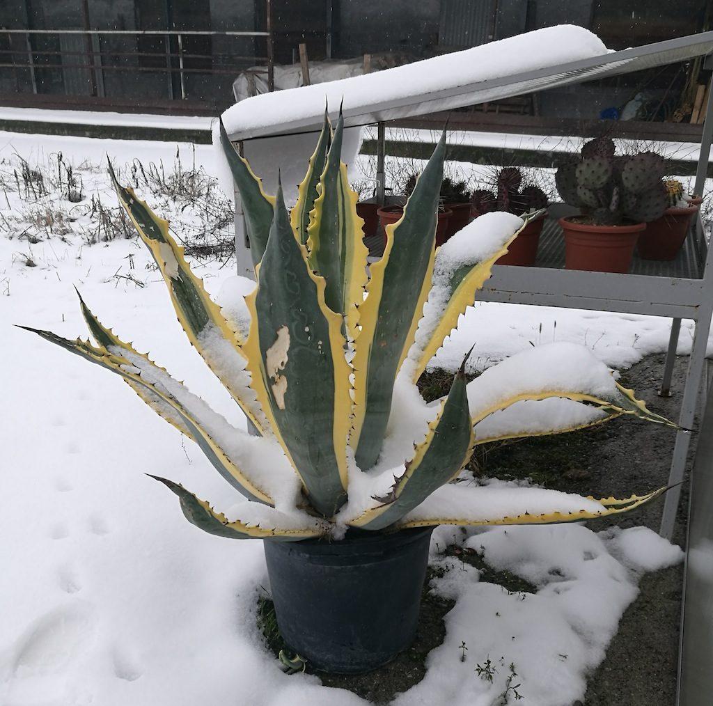 Agave sotto la neve