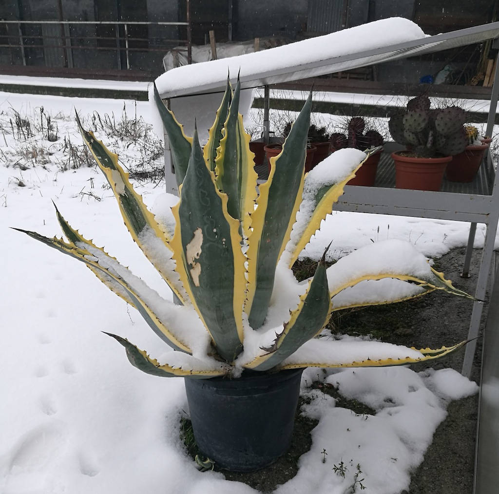 Agave sotto la neve