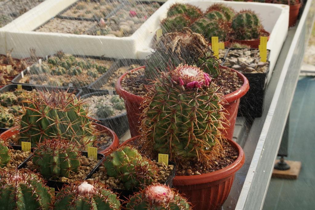 Melocactus annaffiati