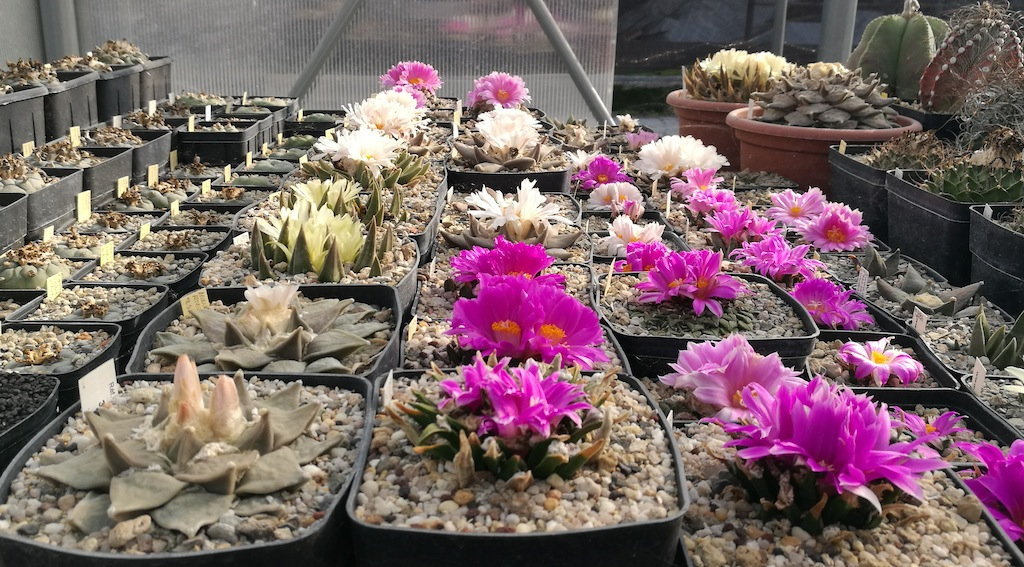 Un'esplosione di colori in pieno autunno: Ariocarpus, un cactus davvero sorprendente