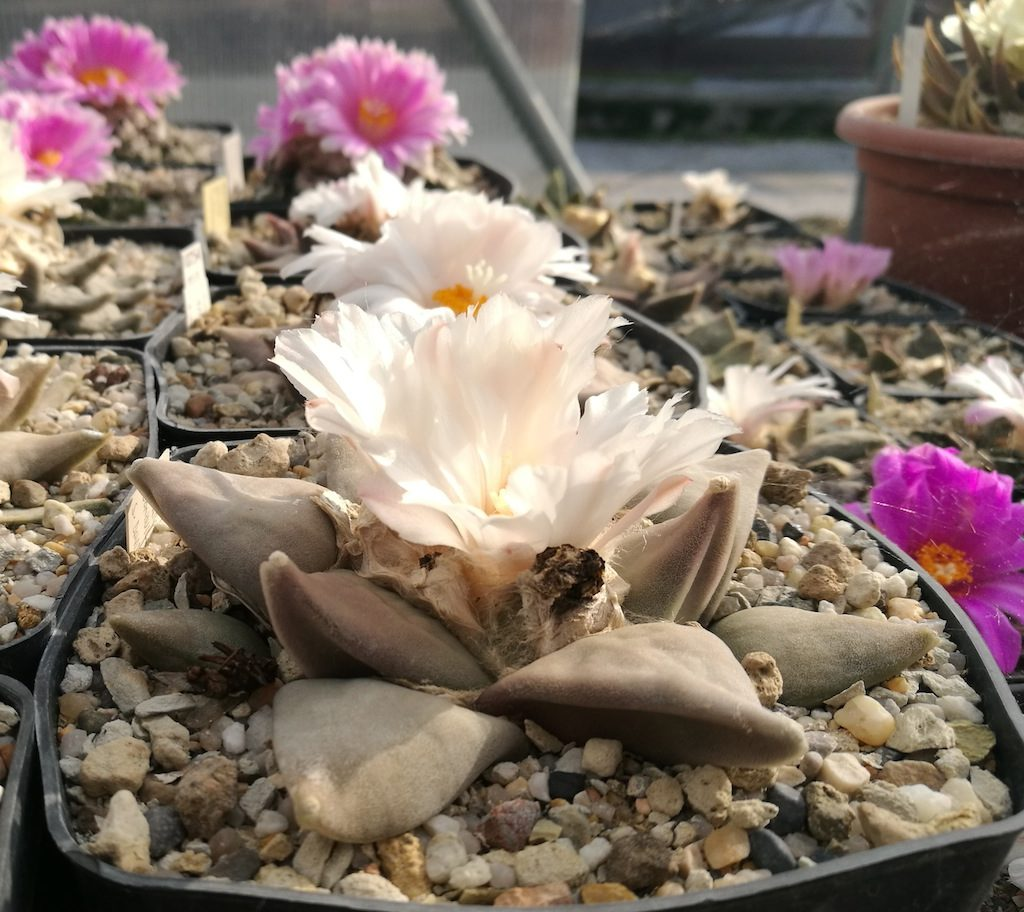 Ariocarpus in fiore