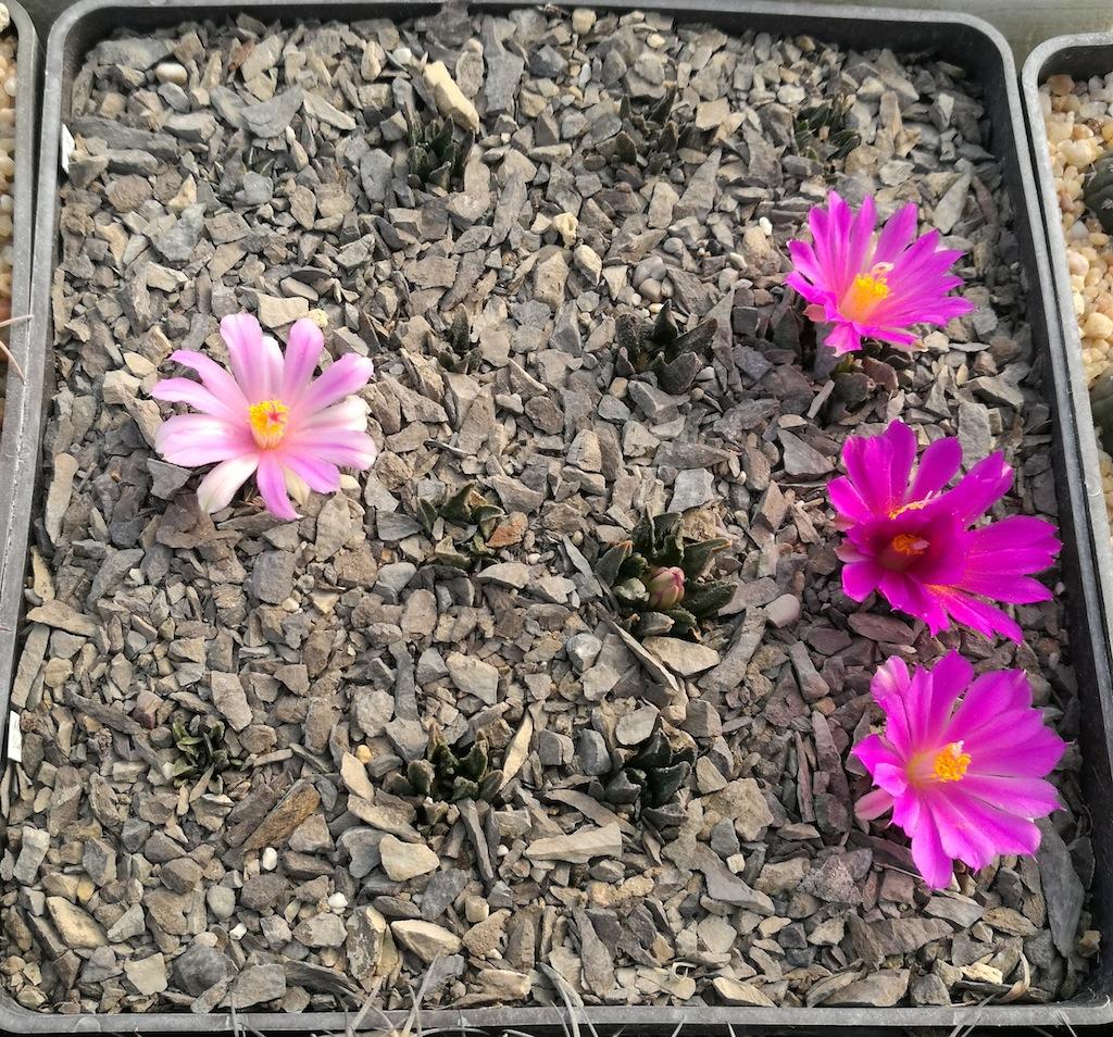 Ariocarpus, mie semine in fiore