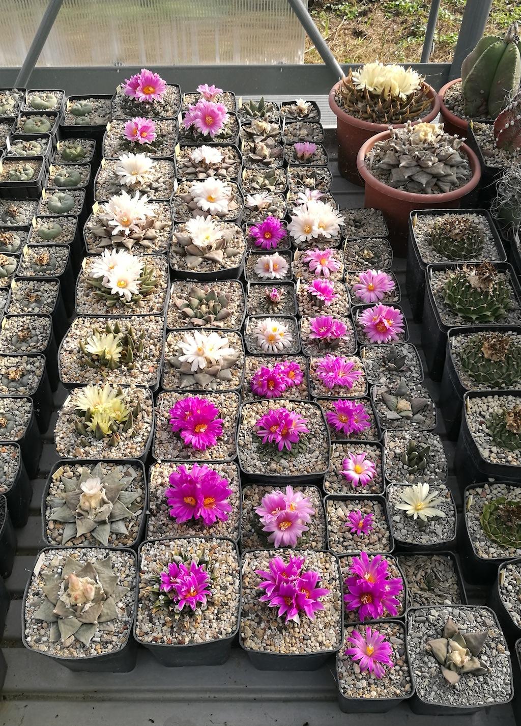 Arioicarpus in fiore