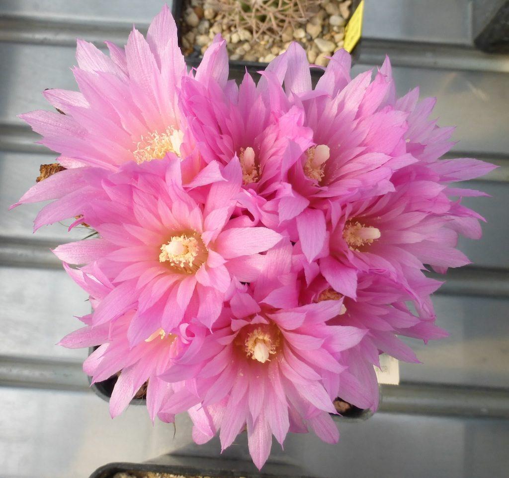 Neoporteria (neochilenia) chilensis