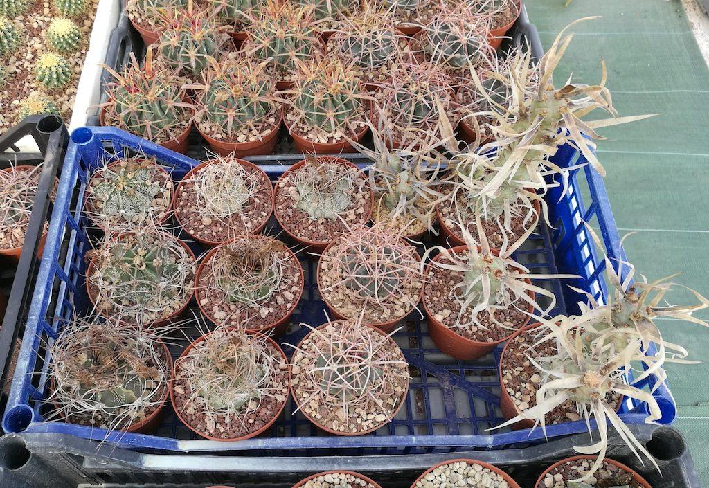 Cactus vari, mie semine