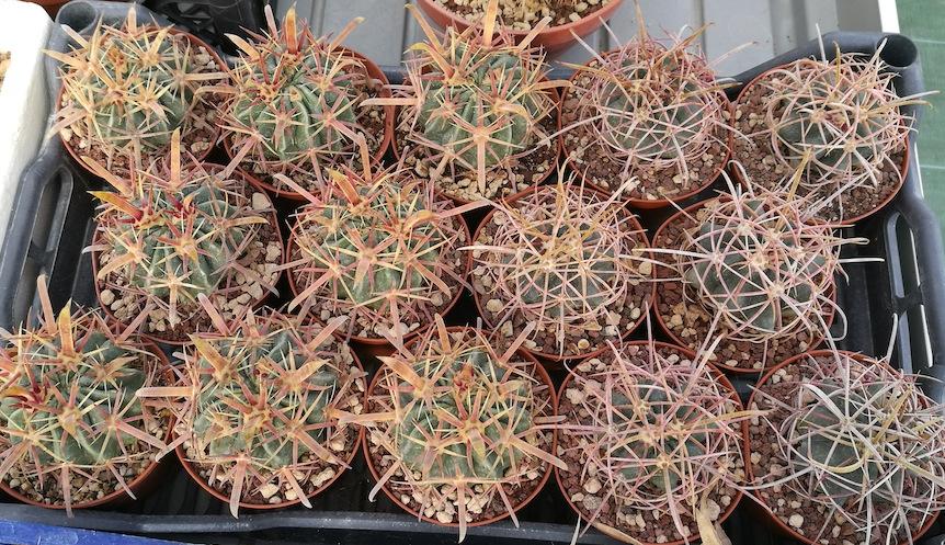 Cactus e rinvasi: il classico mix pomice, lapillo, torba (poca) per velocizzare la crescita