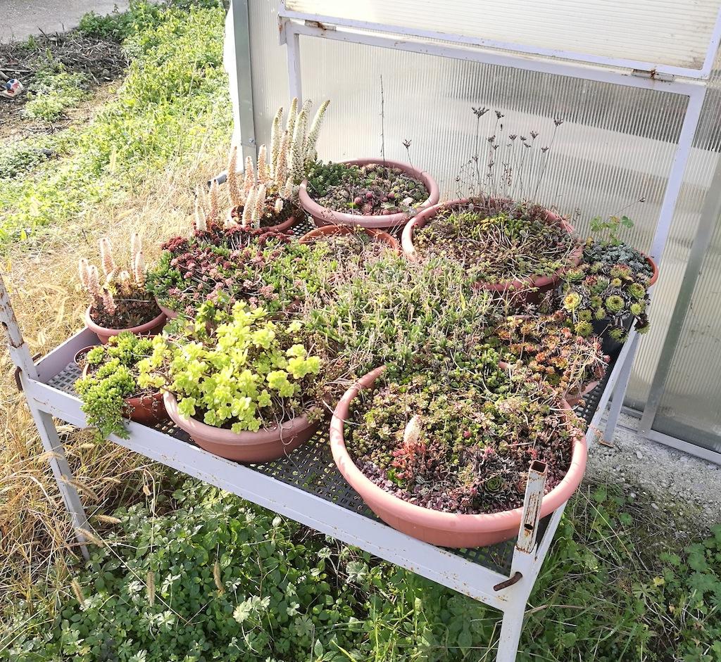 Succulente in esterno (inverno)
