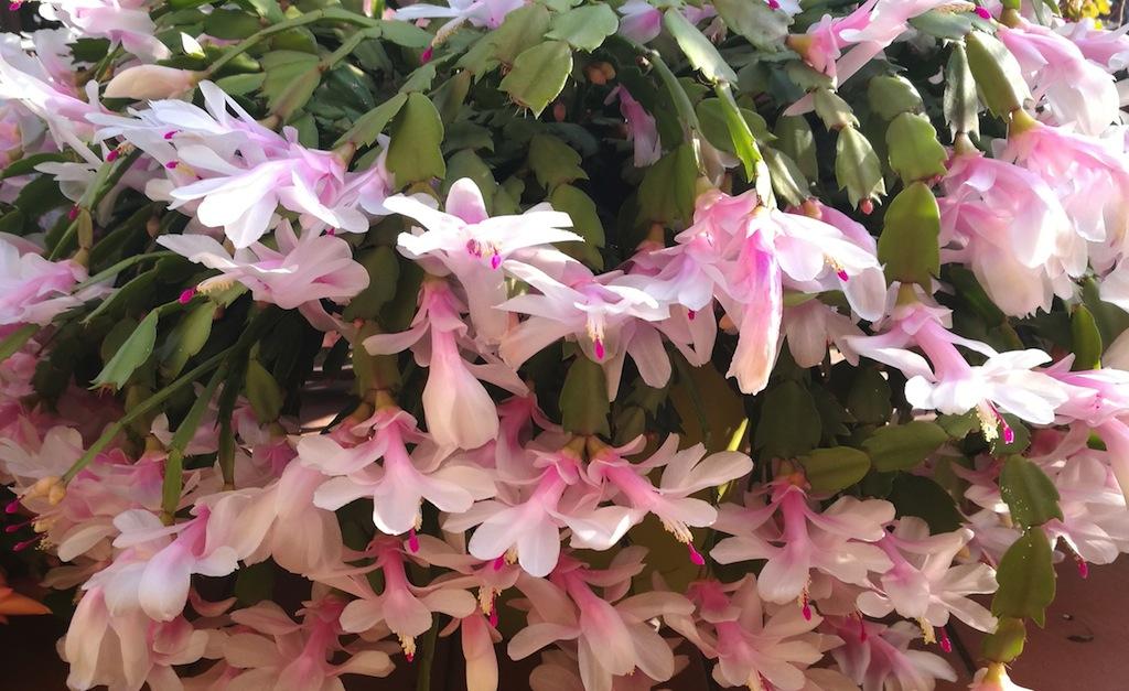 """Schlumbergera, il """"cactus di Natale"""": come farlo fiorire in tutta la sua abbondanza"""