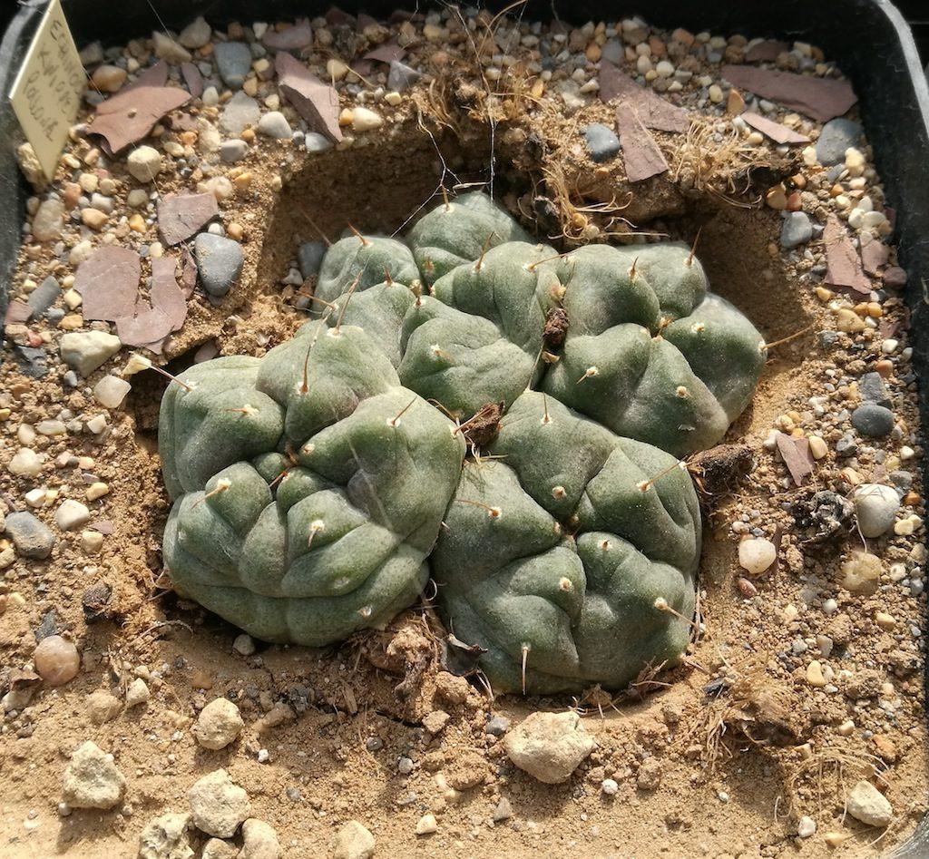 Echinocereus knippelianus in asciutta