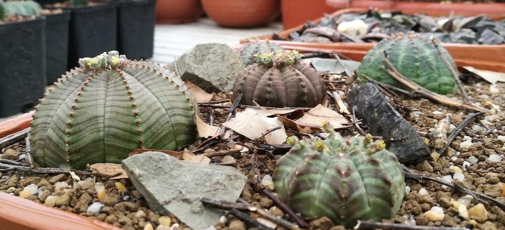Euphorbia: una famiglia di succulente che piace molto anche ai cactofili più incalliti