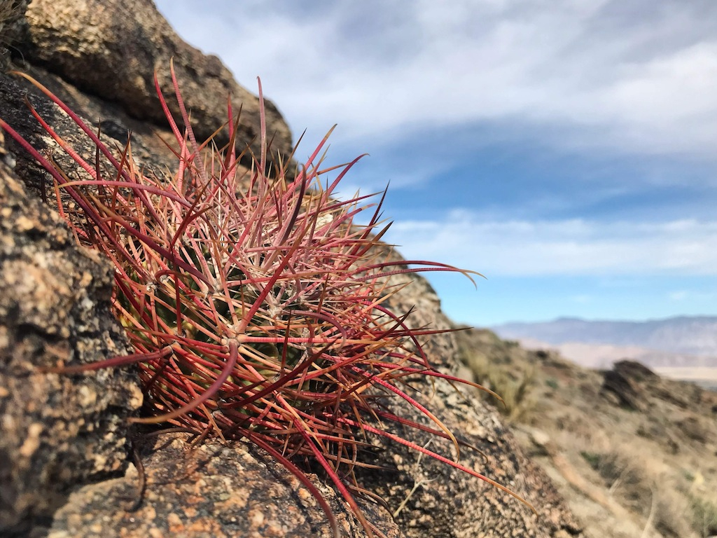 From the Anza-Borrego park in California, stunning photos of Ferocactus in their habitat