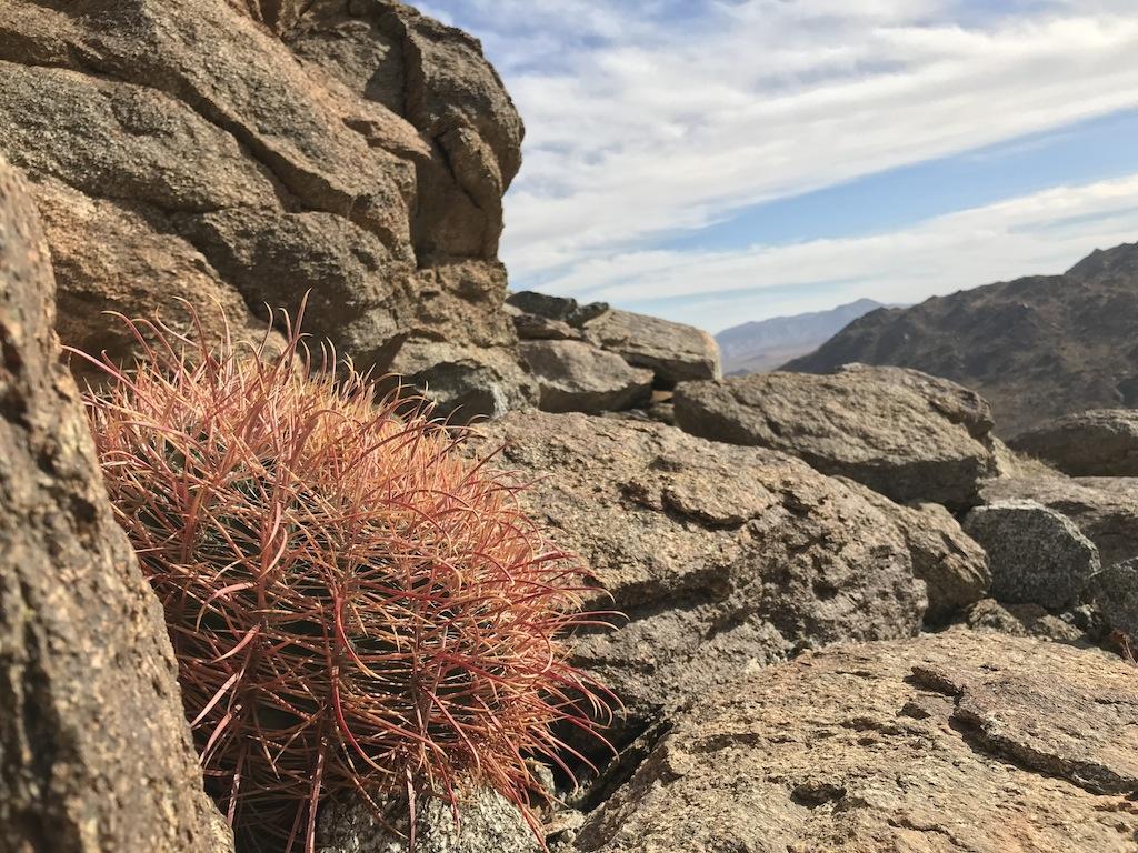 Ferocactus acanthodes (foto ben Grillo)