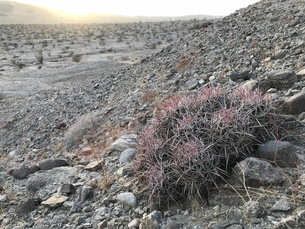 Echinocactus polycephalus (foto Ben Grillo)