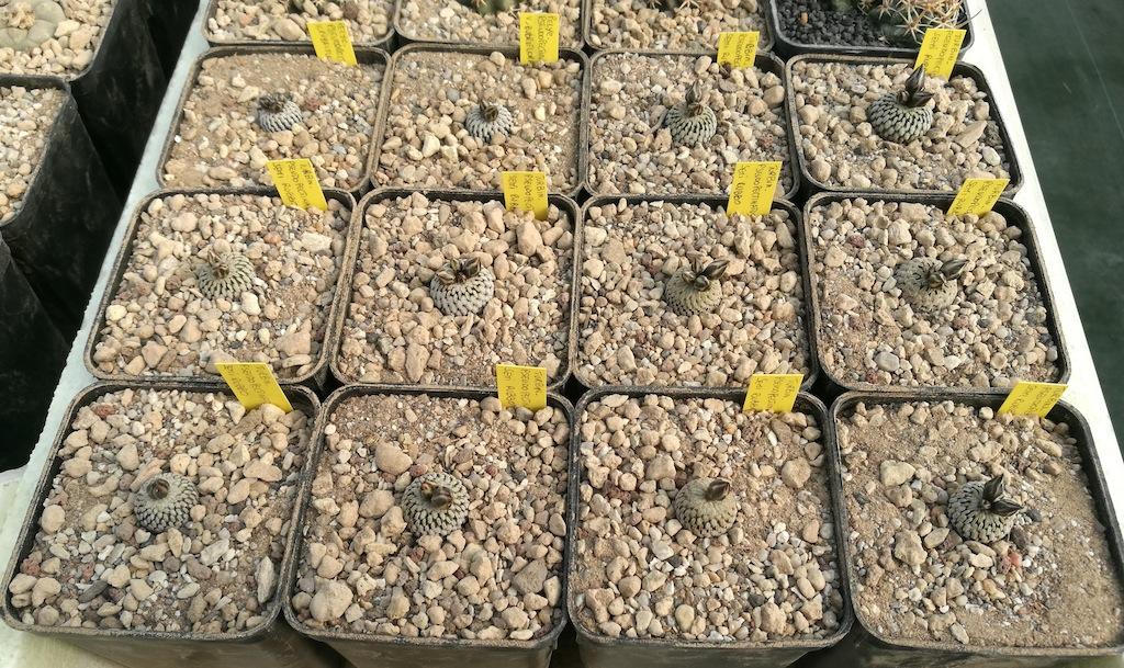 Turbinicarpus pseudopectinatus: mie semine