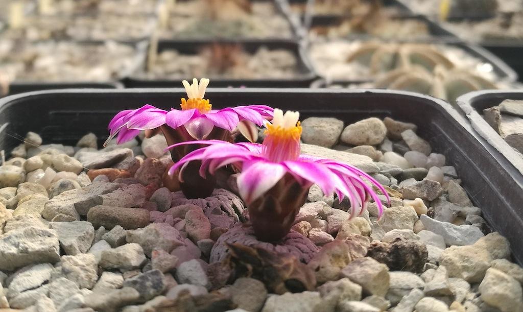Cactus in fiore: una gallery con le principali specie che fioriscono nel mese di marzo