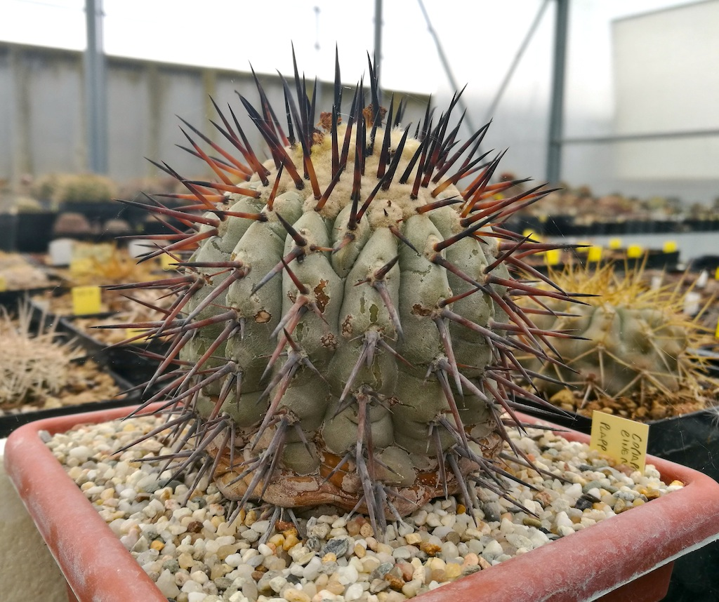 Copiapoa cinerea in pomice