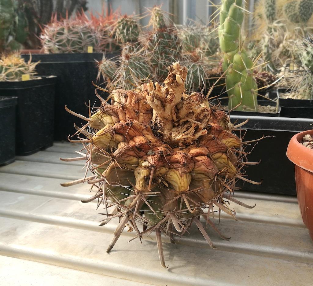 Ferocactus herrerae senza radici