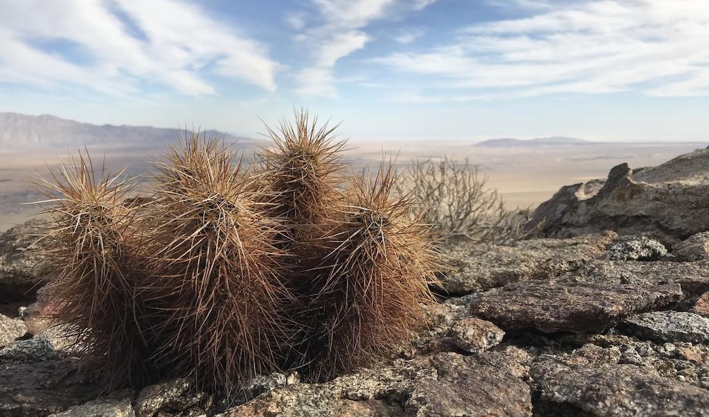 Agavi, Echinocereus e Mammillaria: le foto in natura dal parco statale di Anza Borrego