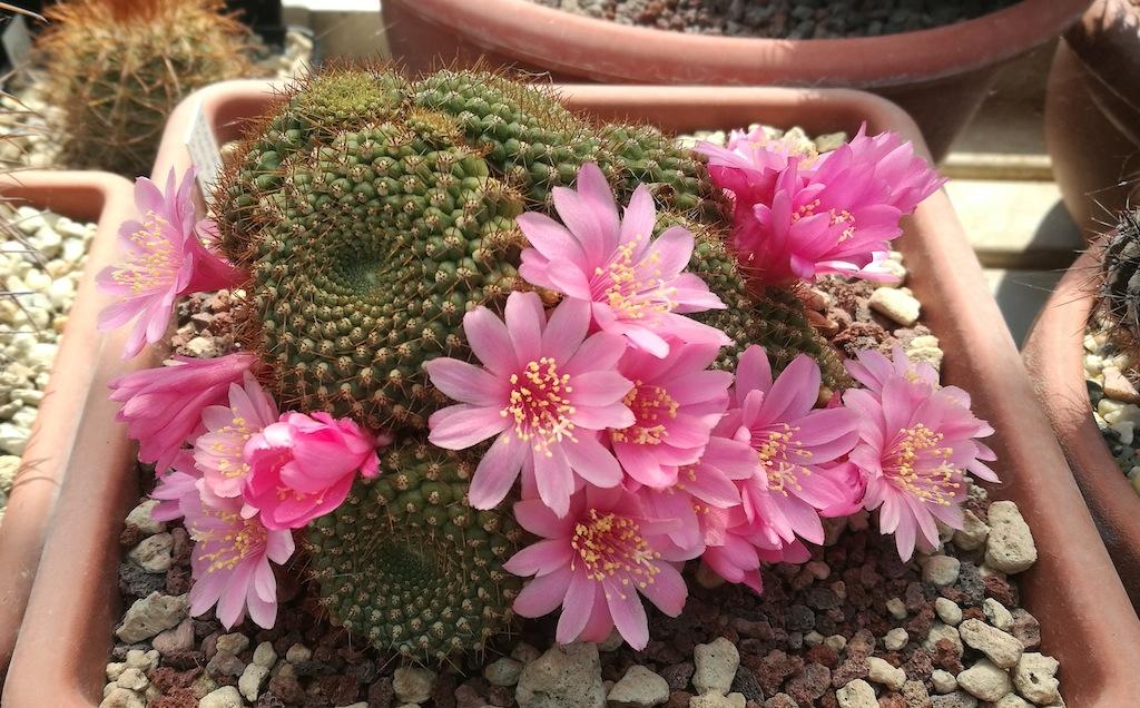 Cactus senza radici: come intervenire per salvare la pianta e farla tornare in piena salute