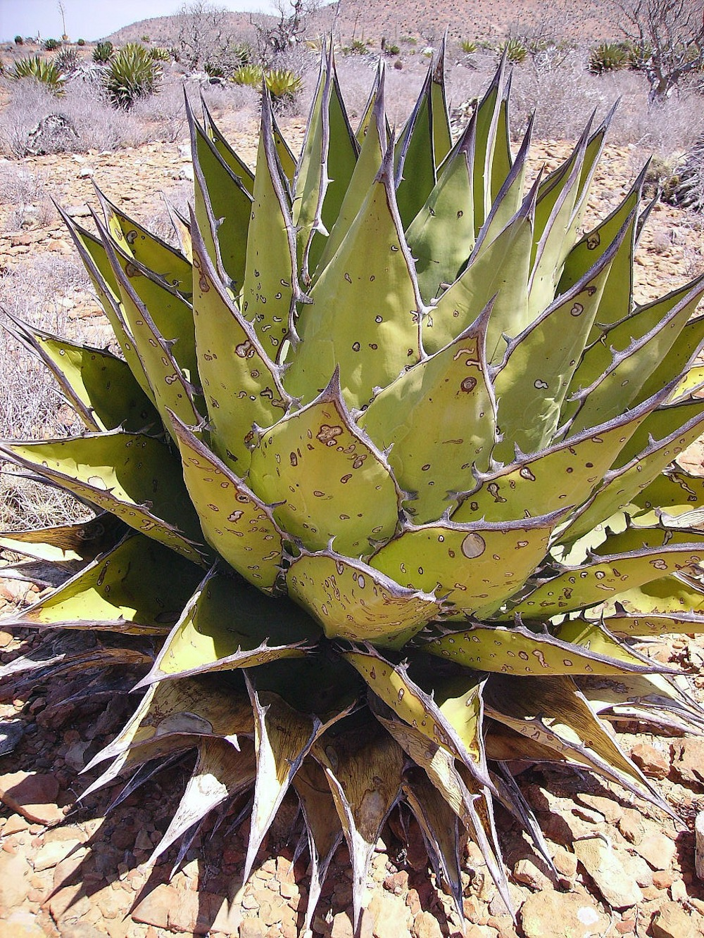 Agave in Baja California