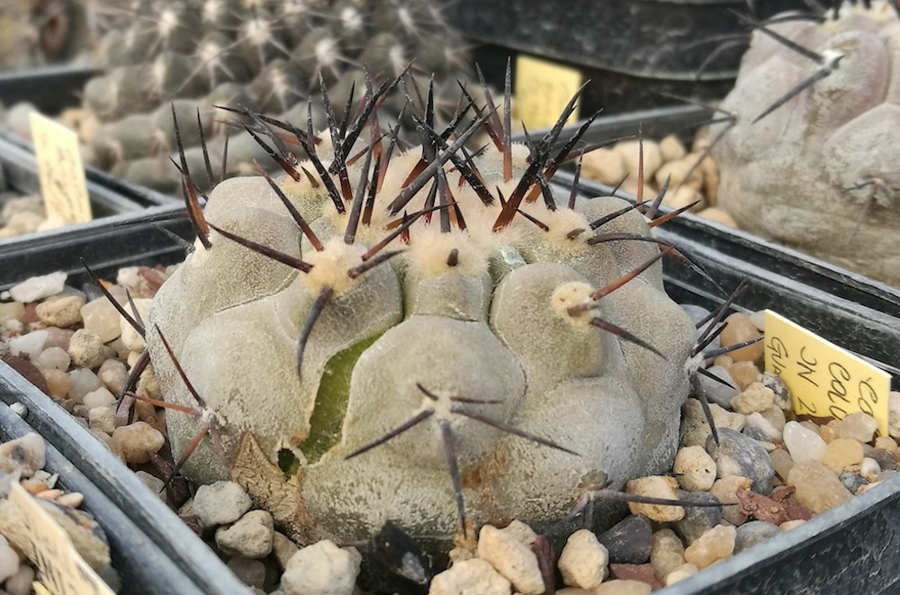 Copiapoa cinerea con spaccature sul fusto