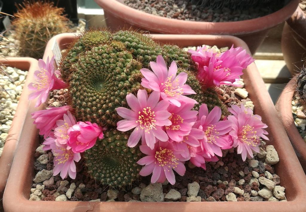 Rebutia sp. a fiore rosa