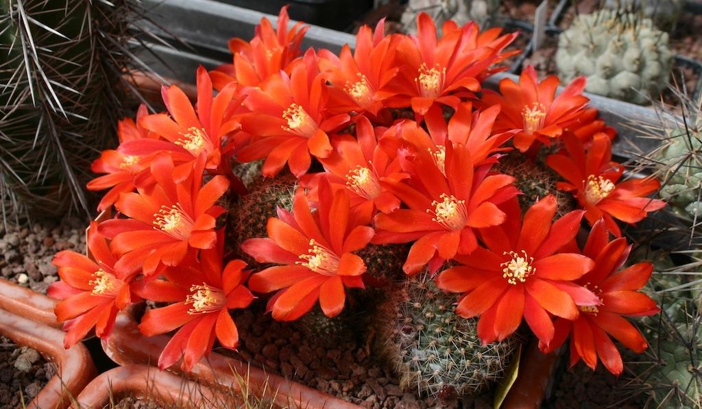 Rebutia sp. a fiore rosso