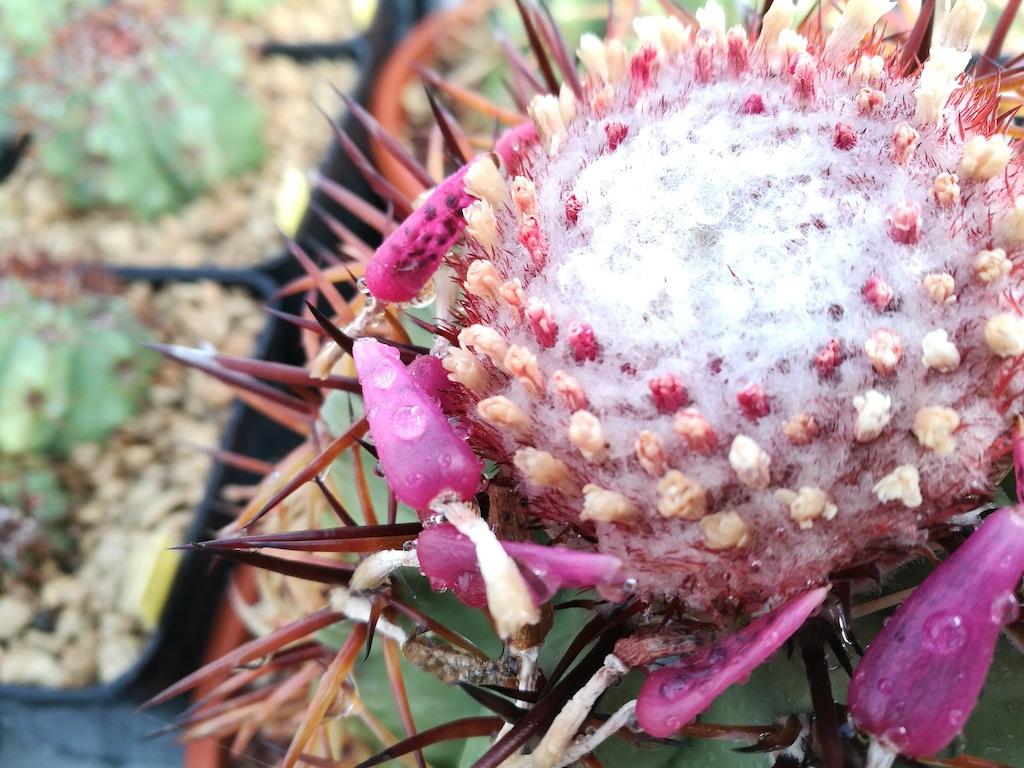 Melocactus, particolare del cefalio