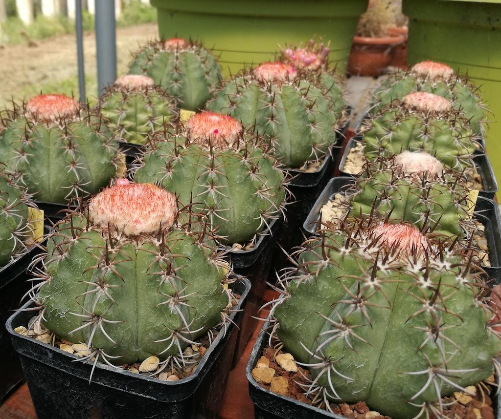 Melocactus matanzanus: mie semine